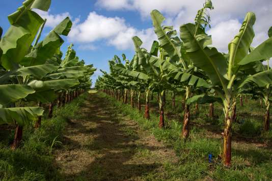 Une bananeraie à Capesterre-Belle-Eau (Guadeloupe).