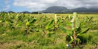 «S'il existe près d'un millier d'espèces de bananes, une espèce particulière, la cavendish, parce qu'elle se conserve bien au transport, a été choisie dans les années 1950 par les grandes firmes comme United Fruit» (Bananeraie en Guadeloupe).