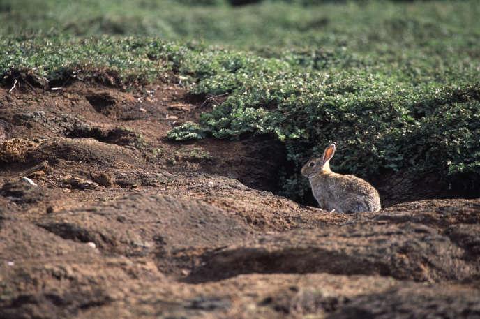Un lapin de garenne, devant son terrier, dans les îles Kerguelen.