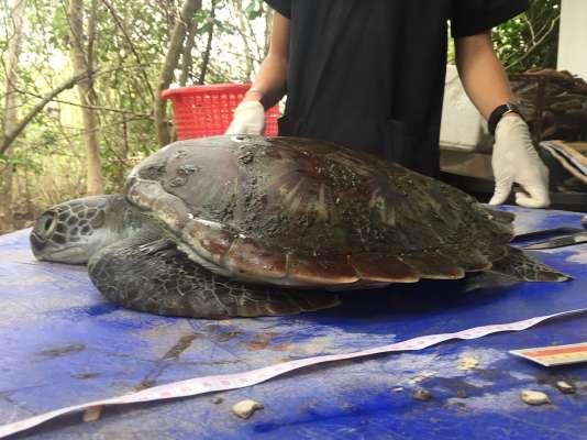 La tortue verte prise en charge au centre marin de Chantaburi le 6 juin n'a pas pu être sauvée.