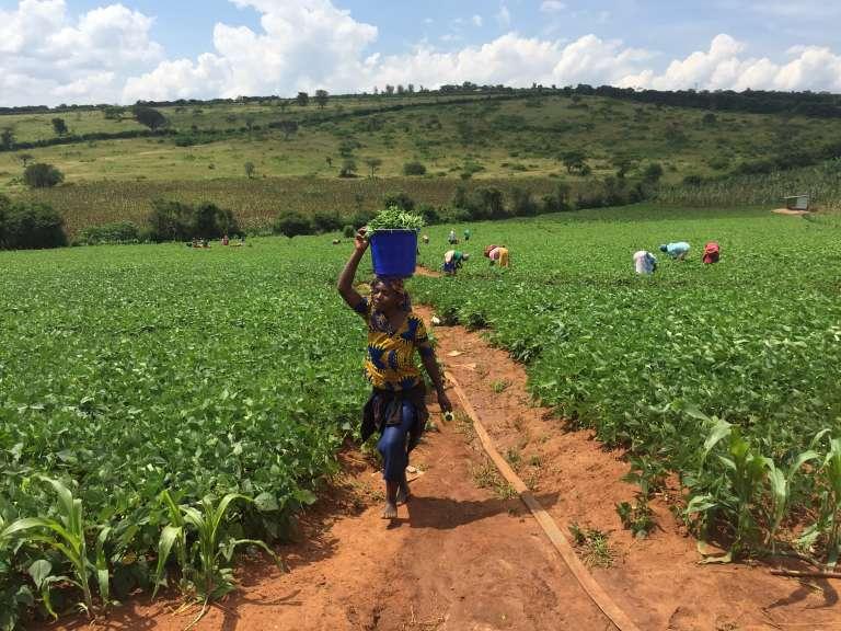 Un champ de maïs dans les plaines de Busasamana, dans le sud du Rwanda, en mai 2018.