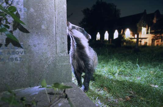 Un blaireau, dans un cimetière du sud de Londres.