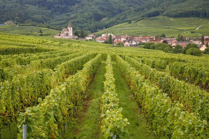 Bordé par les Vosges d'un côté, la plaine du Rhin de l'autre, le vignoble alsacien couvre 15 600 hectares.