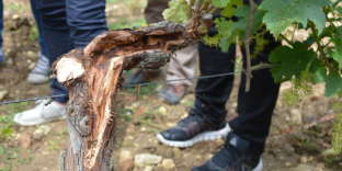 Après une opération de curetage sur un cep de vigne, à Panzoult (Indre-et-Loire), le 5 juin.