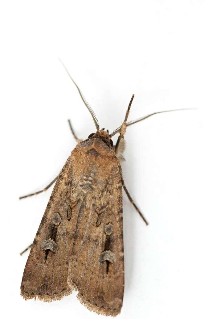 Un papillon de nuit bogong («Agrotis infusa»), en Nouvelle-Galles du Sud (Australie).
