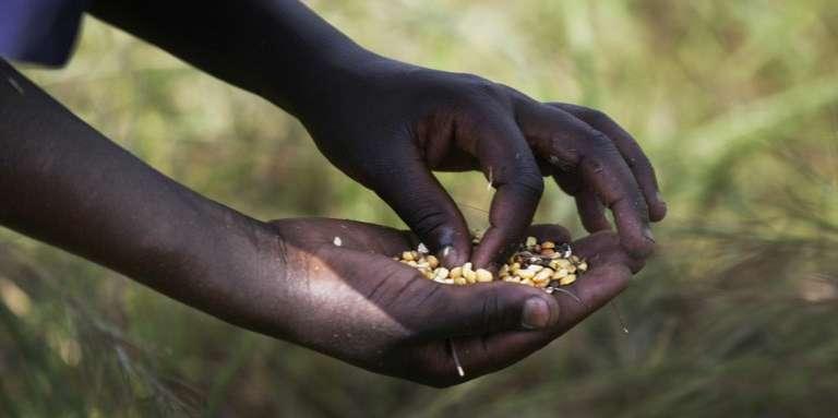 Le maïs, qui permet de cuisiner l'«ugali», constitue l'aliment de base de nombreux Tanzaniens.