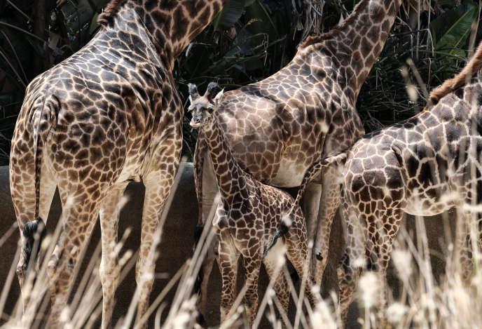 Girafes du zoo de Los Angeles (Californie).