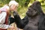 Le gorille Koko et l'éthologue « Penny » Patterson.