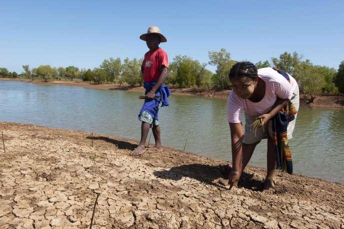 Des volontaires replantent des jeunes pousses de palétuviers, dans la région de Melaky (Madagascar), le 24 avril.