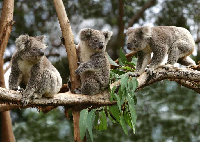 Des koalas sur une branche, en Australie.