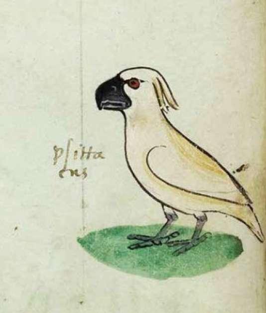 Les cacatoès femelles, ici, celle qui apparaît au folio 20, ont les yeux brun-rouge ou rouge, les mâles les yeux noirs.