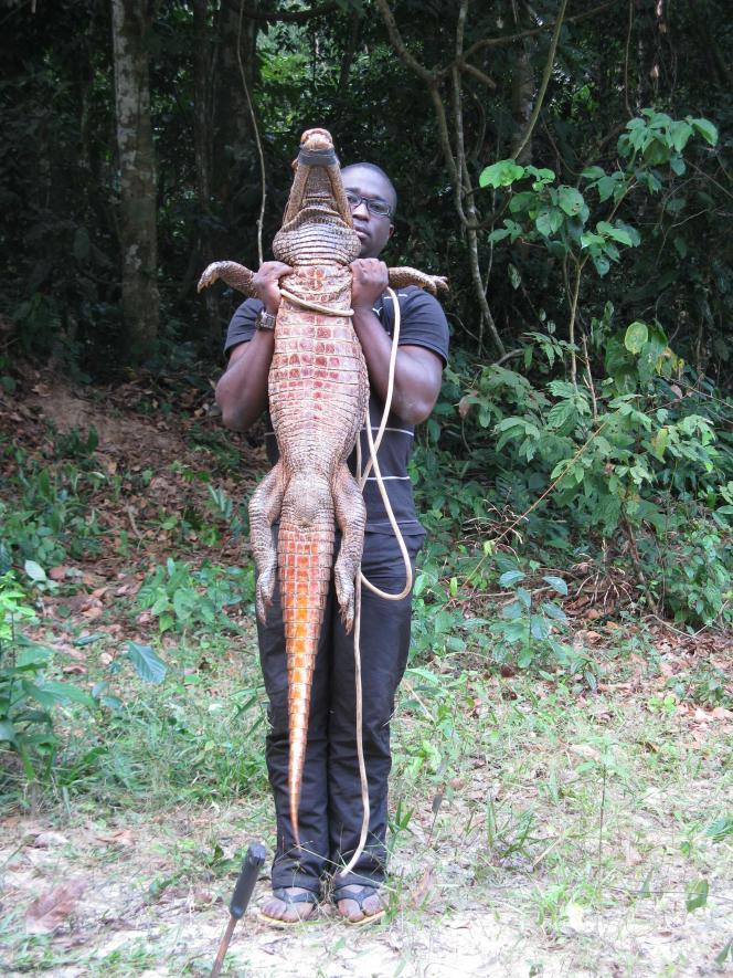 Ce « crocodile orange cavernicole », qui peut atteindre 1,70 m, est unique au monde et n'a été observé que dans ces grottes du Gabon.