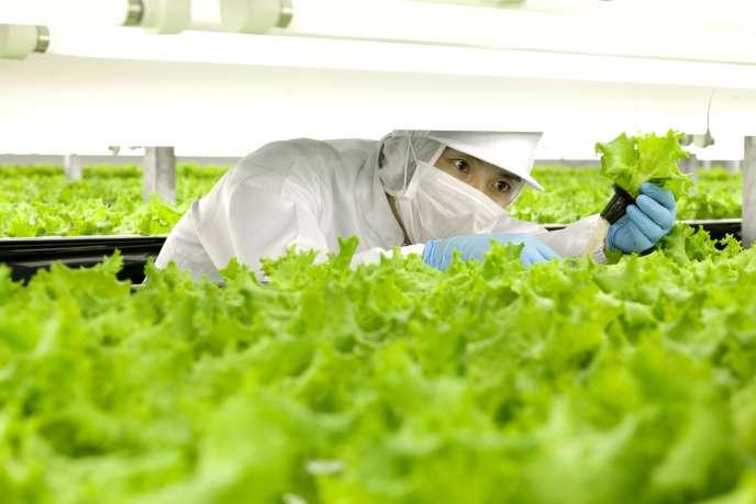 Culture hors-sol de laitues dans l'usine de la compagnie Spread à Kameoka, près de Kyoto (Japon), en 2012.
