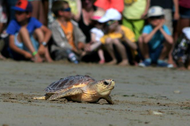 Tortue relachée sur l'Ile-de-Ré par l'aquarium de La Rochelle, le 8 juillet 2016.