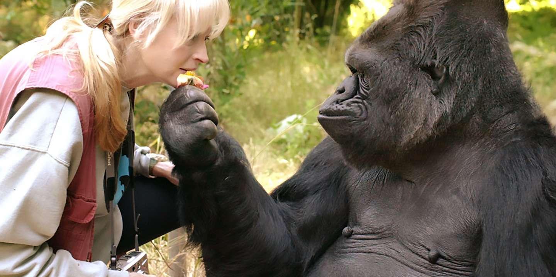Avec La Mort De La Gorille Koko La Fin D Une Epoque