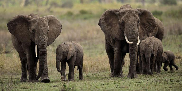 Des éléphants dans le parc national du Serengeti, au nord de la Tanzanie, en octobre 2010.