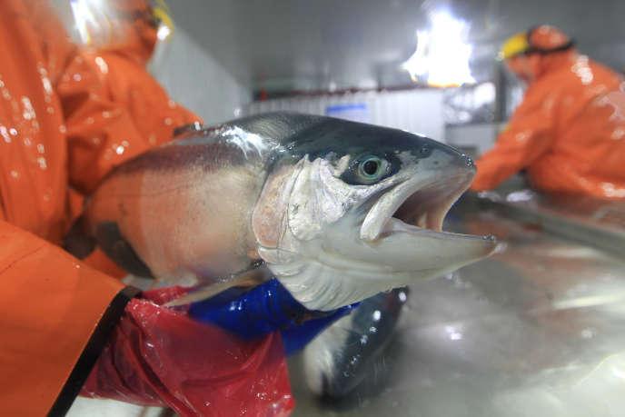 Dans une station d'alevinagede saumons à Puerto Montt au Chili, le 4 octobre 2017.