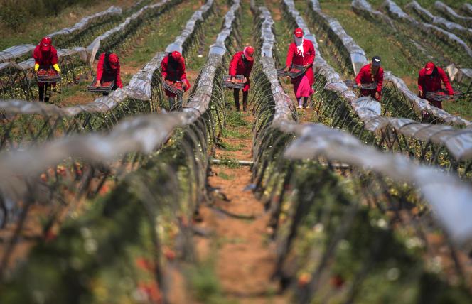 Plantation de fraises dans la province de Kenitra au Maroc, en mars 2017.