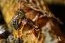 « Il est faux de dire que les organismes sont d'autant plus sensibles à la douleur qu'ils nous sont proches. Par exemple, les tuniciers sont plus proches phylogénétiquement des humains que les abeilles ; ils ne sont pourtant pas sensibles, tandis que les abeilles le sont» (Abeilles en Lozère, 2018).