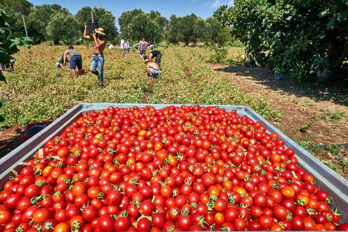 SfruttaZero est faiteà partir de tomates hybrides ou de variétés autochtones cultivées sans stimulation chimique.