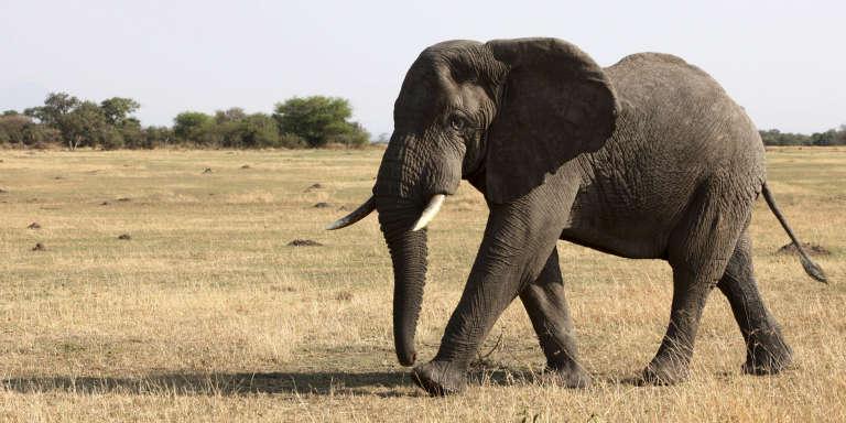 Un éléphant dans le parc national du Serengeti, en Tanzanie, en août 2012.