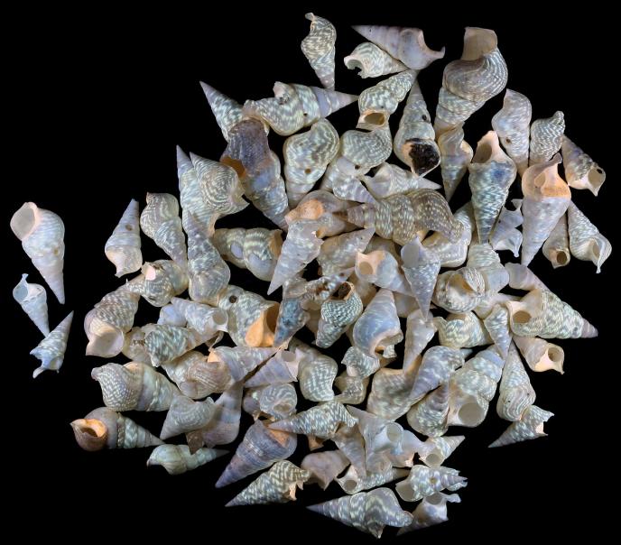 Fossiles sous UV trouvés sur le site de Grignon.