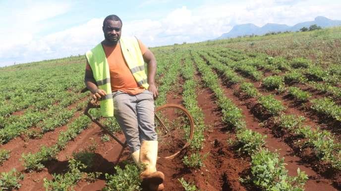 Foumbot, le 8 juillet 2018. Rahamane Bidima dans l'un des champs de son exploitation agricole sur son« vélo agro», un outil maraîcher qu'il a conçu avec un ami ferrailleur pour cultiver sans se casser le dos.