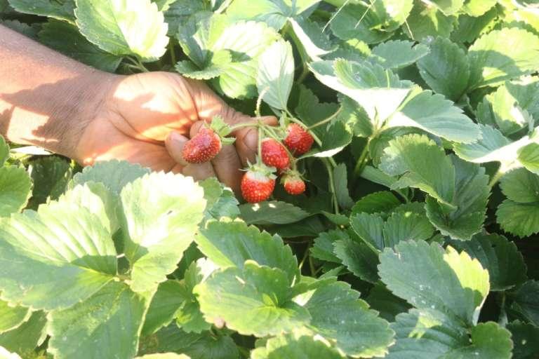 Foumbot, le 8 juillet 2018. Rahamane Bidima est particulièrement fier de ses fraises, «un petit bout d'Europe dans mes champs», sourit-il.