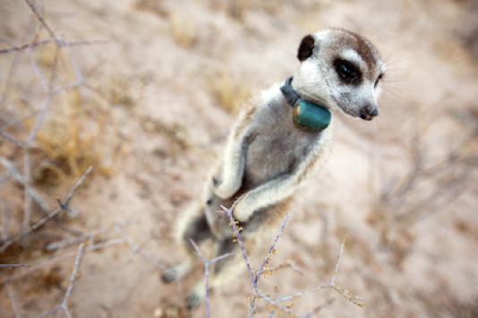 Un suricate équipé d'une caméra ultra-légère.