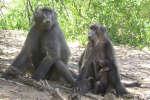 La vie sociale des babouins chacmas de Namibie regorge de liens intenses et durables.