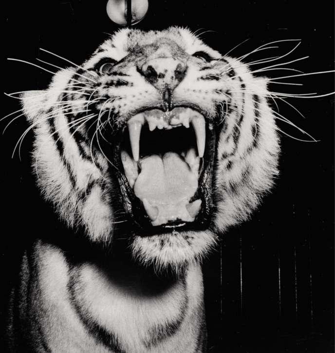 Un tigre révélant ses crocs dans un cirque new-yorkais, vers 1950.