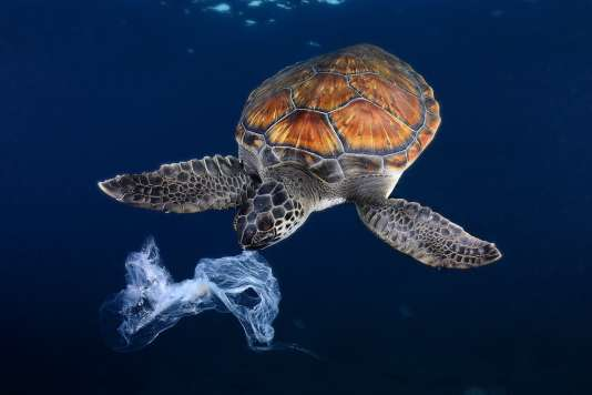 Au large de Tenerife, dans les Canaries (Espagne), une tortue tente d'ingérer un sac en plastique ressemblant à une méduse.