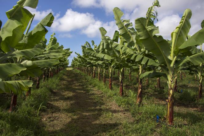 Dans une bananeraie de Fonds Cacao, en Guadeloupe, le 10 avril.