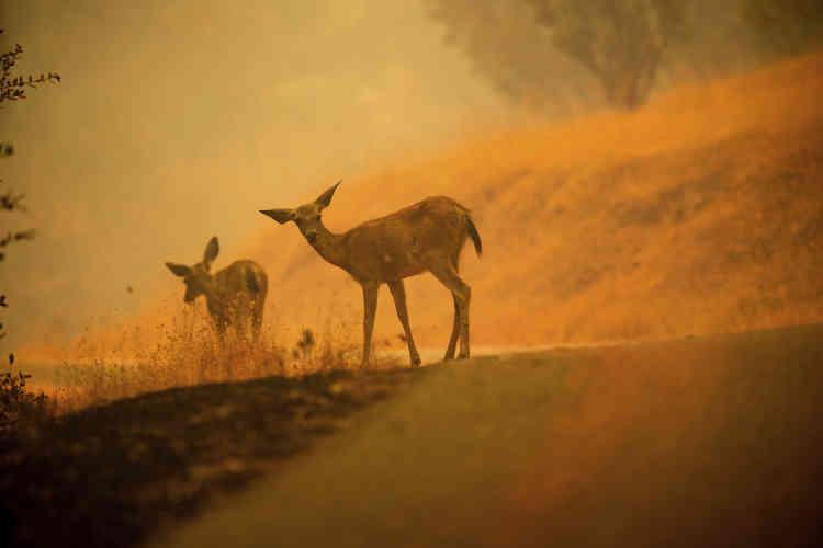 Des biches sur une route recouverte de poudre ignifuge, près de Redding, le 28 juillet.