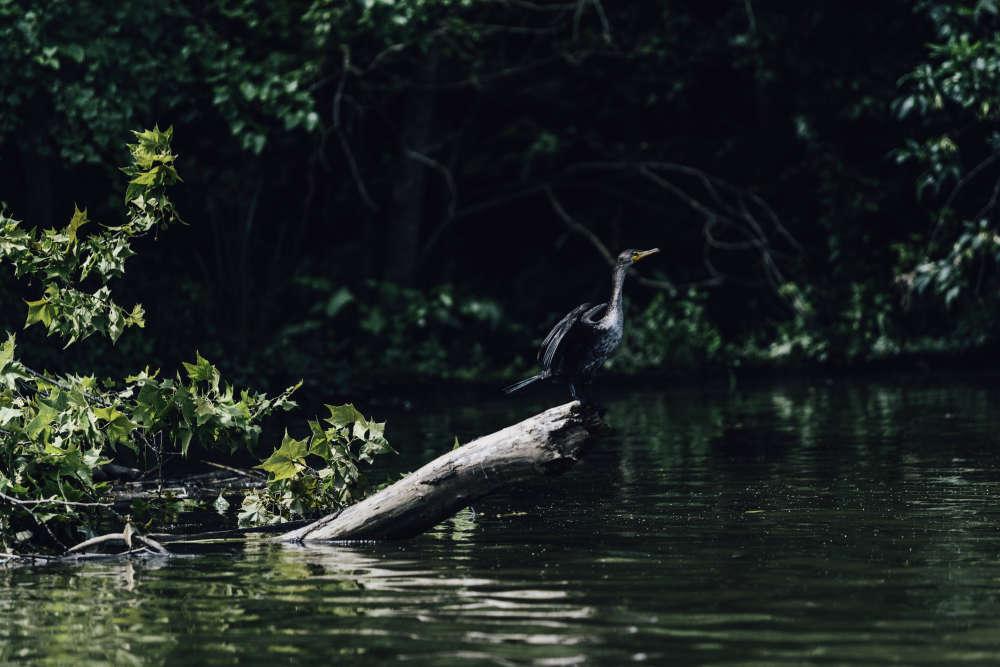 ... et même les animaux sauvages ont réinvesti la partie supérieure de la rivière, comme le grand héron.