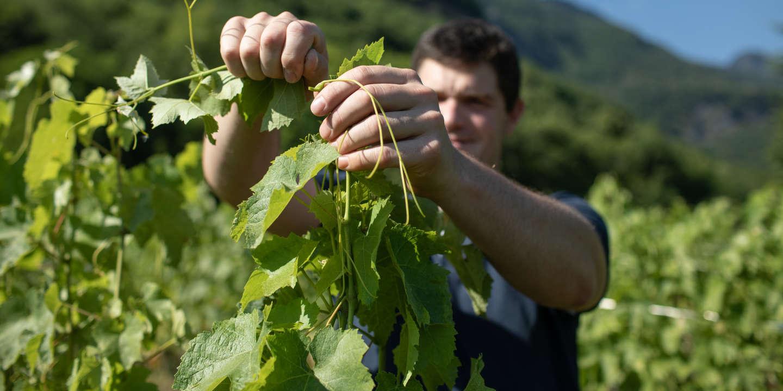 A cette période de l'année, il faut tailler les vignes et les guider. Ici tout est fait à la main - Sujet sur Mathieu Goury, 35 ans, vigneron depuis 4 ans à Saint Pierre Albiny (Domaine de Chevillard). Il travaille la mondeuse, cépage autochtone, en bio et à la main. Dans son exploitation rien n'est mécanisé pour respecter les vignes. Ses vins sont surtout vendu à l'étranger car les vins de savoie ont mauvaise presse en France. Il ne produit que 25 000 bouteilles par an.