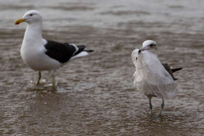 Un goéland ramasse un sac en plastique sur la plage deCaleta Portales, à Valparaiso, au Chili, le 17 juillet.