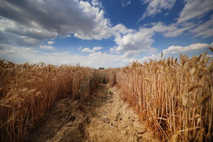 Un champ de blé dans les Weppes, dans le nord de la France, le 24 juillet.