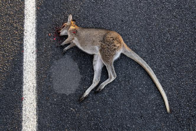 Si les dingos, prédateurs des kangourous, ont disparu, les chasseurs et les automobilistes tuent des millions de marsupiaux chaque année.