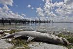 En Floride, des tonnes de poissons décimés par une « marée rouge »