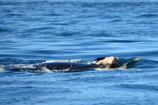L'orque «J35» poussant du nez le corps de son petit mort, le tenant à la surface sur sa tête,le 24 juillet.
