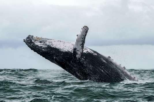 Les mammifères marins sont des espèces dites «sentinelles»: leur état de santé peut informer sur les problèmes environnementaux qui pourraient affecter, un jour, les humains.