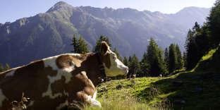 Vache productrice de «lait de foin» en été au pré dans la région de Salzbourg. L'hiver, elle sera nourrie avec du foin issu des herbes séchées.