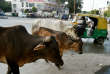 Des vaches sacrées, en Inde, en 2017. Des extrémistes hindous terrorisent ceux, souvent musulmans, qui abattent les bovins pour leur viande.