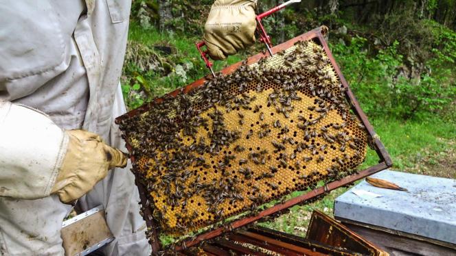 La colonie d'abeilles noires au plus fort de la saison conserve des réserves généreuses malgré le couvain très développé. Les abeilles noires assurent le stock pour l'hiver. Entre le miel et le couvain, un cercle de pollen assure les apports en protéines pour les larves en développement. Elevage de Vincent Canova, en mai 2018.