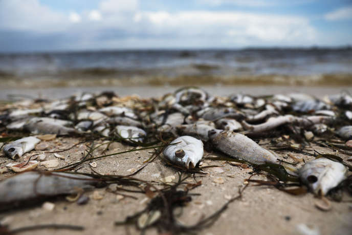 En août, des poissons morts sur une plage de Floride, en raison de la marée rouge.