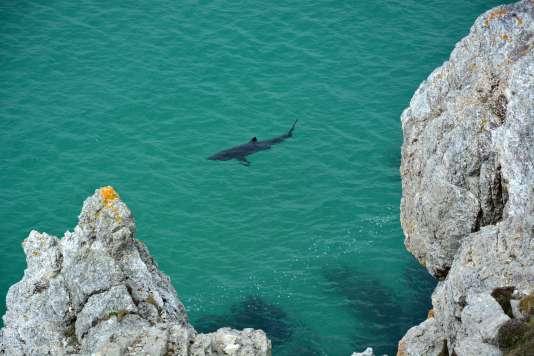 Parmi les près de 500espèces de squales, la distinction majeure réside dans l'aptitude à parcourir de longues distances dans l'océan pour trouver un habitat naturel adapté à leur métabolisme.