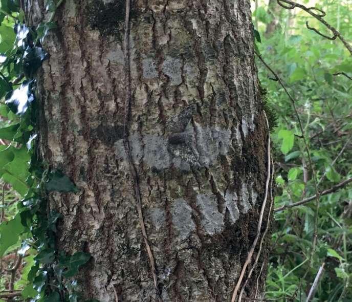 Une phalène sombre artificielle est camouflée sur ce tronc, avec efficacité.