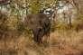 Un éléphant auBotswana.