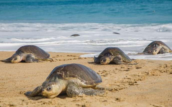 Le 20 juillet 2018, des tortues golfina (ou tortue olivâtre) sur la plage de Ixtapilla, dans l'Etat du Michoacan au Mexique.